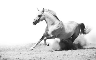 chiropraktische Behandlung Pferd, Westernpferd, Dressurpferd, Freizeitpferd, Chiropraktik, Osteopathie, Physiotherapie