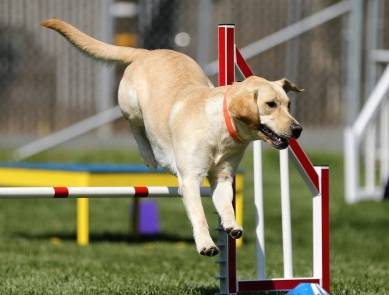Agility, Hundesport, Chiropraktik Labrador, Belastung Gelenke, Turnierhundesport