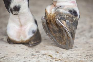 Pferde Chiropraktik, Biomechanik, Hufe