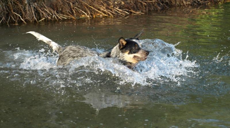 Hund im Wasser, Sport, Anwendungsgebiete der Chiropraktik bei Tieren