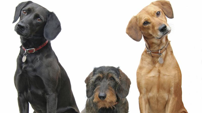 Dackel, Labrador, Fragen zur Chiropraktik, Veterinärchiropraktik