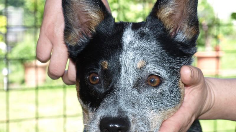 Chiropraktik Halswirbelsäule Hund
